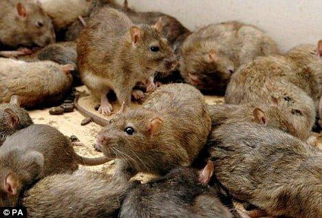 Kết quả hình ảnh cho hinh anh lũ chuột cống