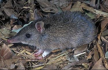 Chuột Mũi Dài