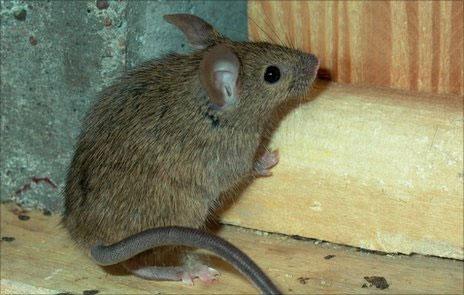 Chuột Nhà
