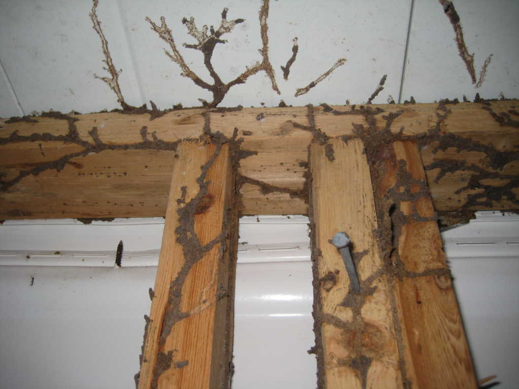 Mối làm mục trần nhà