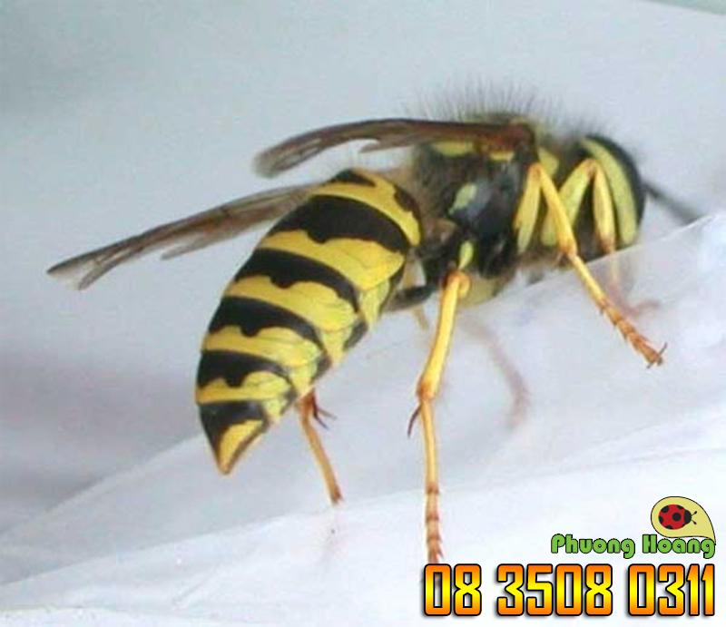 Ong nghệ Đức-Mức độ 2 (đau hơn vết đốt ong mật, có thể đau trong vòng 5 phút).
