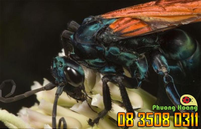 Thiên địch của loài nhện Tarantula (Tarantula hawk) - Mức độ 4 (dù chỉ kéo dài 3 phút nhưng cực kỳ đau đớn).