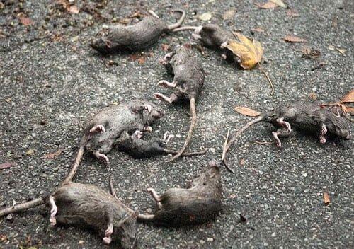Chuột chết là một ổ dịch bệnh.
