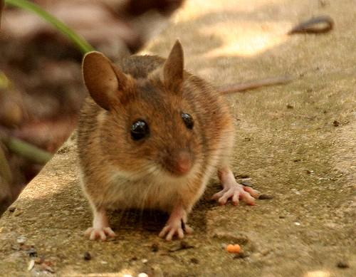 Chuột Gỗ