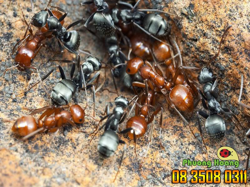 Lũ kiến rất ghét chất carbonate canxi có trong phấn bảng.