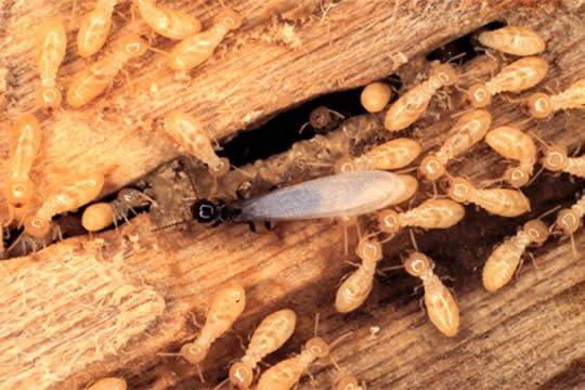 Loài mối gỗ khô