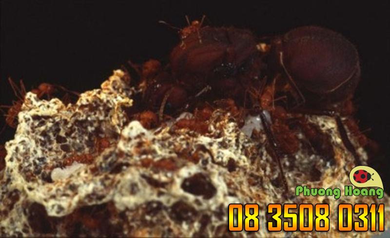 Kiến có thể trồng nấm.